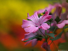 in the moment.. explored (joppix away.) Tags: pink flower macro bright bokeh ngc clash double explore npc fantasy mallow awesomeblossoms joppix
