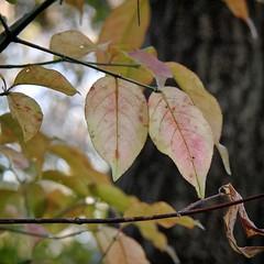 Autumn Leaves with a Casio EX-F1 (2/3) (macpapaja) Tags: autumn macro nature square casio exf1