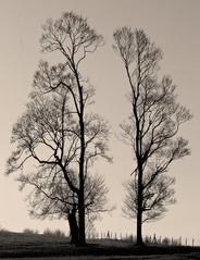 Trees in harmony...*2 (Harvey Dogson) Tags: uk sunset england tree northwest best explore cumbria flikcr morecambebay platinumphoto artofimages bestcaptureaoi amymit