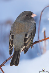 Dark-eyed Junco! (JRIDLEY1) Tags: winter bird darkeyedjunco juncohyemalis milfordmichigan brightonmichigan jridley1 jimridley httpjimridleyzenfoliocom photocontesttnc12