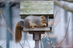339.365 (Urban.Photography) Tags: winter nature squirrel bokeh eating feeder project365 thechallengefactory 3652011