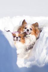 (kodemari) Tags: dog snow momo papillon yamato 2012 2shot ef28200 eos60d