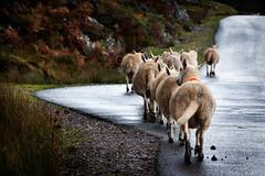 What u want? (Nephelim (www.nerobizzarro.com)) Tags: trip panorama nature scotland view sheep wildlife natura loch grassland prato viaggio scozia pecora inthewild statobrado