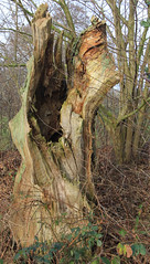 boom / tree (willemsknol) Tags: drenthe balloo kampsheide willemsknol