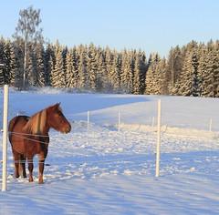 Winter horses_2012_01_08_0011 (FarmerJohnn) Tags: winter horses horse sun snow canon suomi finland frost day sunny lumi hevoset hevonen winterday laukaa aurinko päivä aurinkoinen pakkanen valkola talvipäivä canonef163528liiusm canon7d anttospohja juhanianttonen suomenhevonentalvi