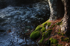 The color of moss (Rosiecheeks) Tags: tree moss concord woodsestabrrok