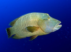 Maori Wrasse (bodiver) Tags: wideangle fins wrasse orcadivers