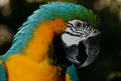 Close-up: Blue-and-yellow Macaw (Jim Skovrider) Tags: bird nature animal denmark zoo nikon natur nikkor macaw danmark ara regnskoven araararauna randers blueandyellowmacaw randersregnskov regnskov niksoftware sb900 adobephotoshoplightroom d300s sharpenerpro sharpenerpro30 nikond300s afsdxnikkor18200mmf3556gedvrii