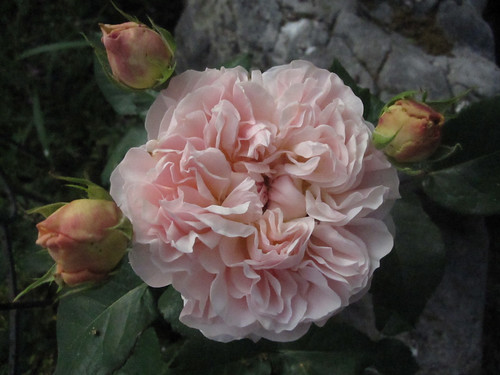 William Morris Rose Bloom 1