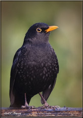 MALE BLACKBIRD PORTRAIT (Shaun's Wildlife Images....) Tags: blackbirds shaund
