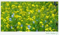 ...It was a Dream .... (Sakia Salam) Tags: love flora dream bubble dhaka spark 2012 yellowfield colorsoflife colorbubble dhakabangladesh beautifulbangladesh yellowdream nikond5100 sakiarafique itwasabubbledream bubbleinyellowland