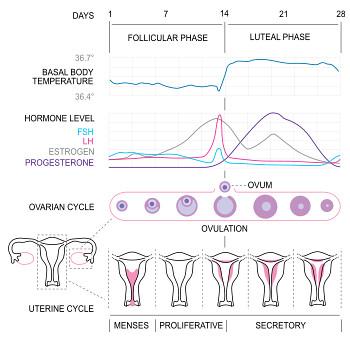 350px-MenstrualCycle2_en