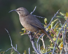 "California Thrasher • <a style=""font-size:0.8em;"" href=""http://www.flickr.com/photos/69404818@N05/6737103643/"" target=""_blank"">View on Flickr</a>"
