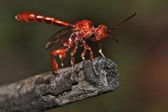 Anime Wasp (zosterops) Tags: australia tasmania hymenoptera insecta kenko20mmextensiontube sistersbeach rockycapenationalpark gasteruptiidae gasteruptiidwasp canonmacrolensef100mm canoneos550d hyptiogastrinae pseudofoenus