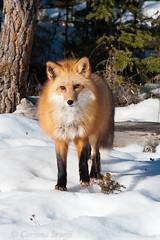 Red Fox 6 (Stoeffl Photography / Corinna Stoeffl) Tags: winter animals mammal photo photos wildlife sunny photographs photograph fox mammals foxes colorphoto redfox vulpesvulpes redfoxes colorphotos verticalformat