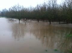 orchard flood (growing hazelnuts) Tags: trees flood orchard oregonrain pacificcoastweather