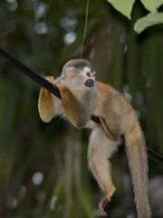 costa rican squirrel monkey (gruntpig) Tags: wild costa cute nature monkey climb squirrel costarica funny little small rica tiny primate squirrelmonkey