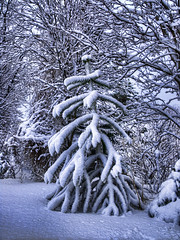 Monkey Puzzle in Snow (axelkr) Tags: trees winter snow nature hdr conifers 3xp photomatix handheldhdr