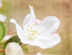 Floating on Air (~Jeannine~) Tags: flowers white flower tree texture cherry blossom floating cherryblossom ie motat tatot fleursetpaysages