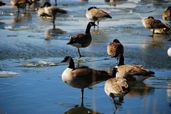 One Leg (Let Ideas Compete) Tags: lake ice frozen pond country canadian boulder reservoir essence canadiangeese bikeride sites walkonwater dodd walkingonwater bouldercounty aquaticbird winterbikeride sightsonabikeride