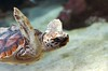 Sea Turtle (Lauren Barkume) Tags: africa vacation brown swim southafrica december turtle ct capetown westerncape 2011 twooceansaquarium laurenbarkume gettyimagesmeandafrica1