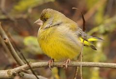 verdone (andrea0250) Tags: nikon uccello larizza d300s andrea0250