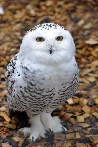 Snowy Owl by Harlequeen, on Flickr