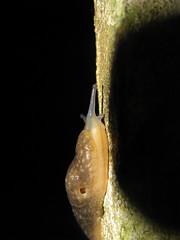 extreme climbing (Francesco Montesanti) Tags: snail climbing slug lumaca arrampicata
