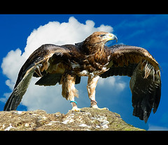 Golden Eagle Hybrid (Steve Wilson - over 2 million views thank you) Tags: bird nature animal spread golden wings nikon eagle wildlife large raptor prey d200 predator hybrid avian goldeneagle birdofprey carnivore nikond200 specanimal mygearandme mygearandmepremium mygearandmebronze mygearandmesilver mygearandmegold