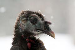 Wild Turkey Portrait (Brian 104) Tags: winter wild snow turkey ugly ilobsterit