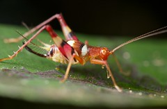 Flashy cricket (pbertner) Tags: macro nature island nationalpark rainforest wildlife reserve biology madagascar macrography nosymangabe maroansetra mananara macrolife