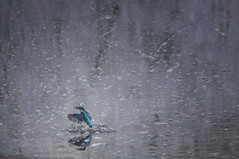 Kingfisher Emerging Out Of The Water - My fave shot form 2012 (Chris McLoughlin) Tags: bird flying inflight action kingfisher rspb fairburnings sigma150500 chrismcloughlin sonya580