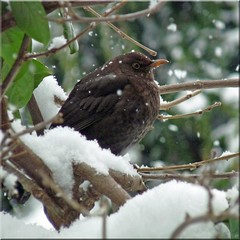 Merel - Blackbird (Cajaflez) Tags: winter bird garden bravo ngc npc snowing tuin blackbird vogel merel vrouwtje sneeuwen 100commentgroup saariysqualitypictures mygearandme ringexcellence dblringexcellence tplringexcellence flickrstruereflection1 eltringexcellence allofnatureswildlifelevel1