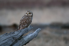 Short-eared Owl 04 (sgbaughn) Tags: shortearedowl