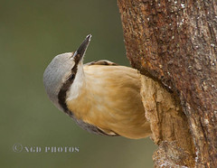 Nuthatch (Nigel Dell) Tags: winter birds flickr wildlife nuthatch ngdphotos