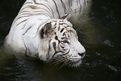 IMG_2453 (Marc Aurel) Tags: zoo singapore tiger tigre singapur whitetiger zoologischergarten singaporezoo weddingtrip hochzeitsreise bengaltiger pantheratigris zoologicalgarden königstiger pantheratigristigris royalbengaltiger pantheratigrisbengalensis weisertiger 5dmarkii eos5dmarkii indischertiger tigrebiancha