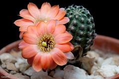 Rebutia pygmaea v. haagei (Gastn S.) Tags: flowers cactus flores flower macro cacti nikon flash flor sb600 micro naranja softbox suculentas cultivo 105mm rebutia pygmaea d5000 haagei cacttceas