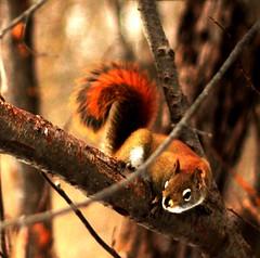 Red Squirrel (#1354) (protophotogsl) Tags: winter ontario canada squirrel ottawa trail orava february ncc ekorre esquilo ardilla eichhrnchen redsquirrel scoiattolo cureuil ekorn wiewirka veverka eekhoorn tupai  egern tamiasciurushudsonicus  orav sincap esquirol  merbleue sc sciurus iora  mkus eekhoring veverica  wiwer nationalcapitalcommission  urtxintxa ketr vjeverica   vvere vover veverika   ardilya   veveri    protophotogsl  consc korna 082edit  dl   ekiry    iskojjattlu