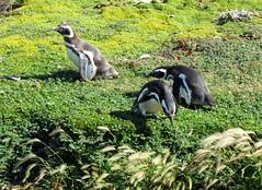 PINGUINO DE MAGALLANES (Pablo C.M    BANCOIMAGENES.CL) Tags: chile patagonia de ave pinguino pjaro magallanes senootway regindemagallanes