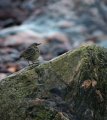 Rock pipit (andywilson1963) Tags: bird nature rock scotland wildlife stonehaven pipit