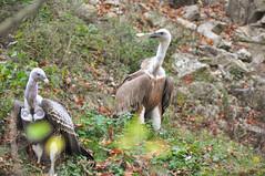DSC_0507 (d90-fan) Tags: autumn animals tiere herbst hirsch braunbr brownbear geier waschbr wolfes luchs badmergentheim wlfe