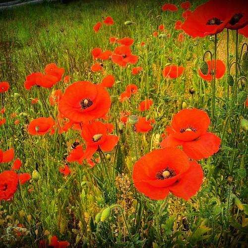 She always stopped by roadside #poppies 💖😘 #flower #redpoppy #lifeisbeautiful #flowerstagram