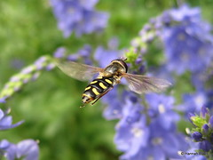 Hoverfly (Syrphidae) (Hannah E. Davis) Tags: black yellow fly mimicry striped pollinator