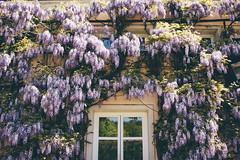 Purple (freyavev) Tags: flowers detail reflection salzburg window wall facade austria österreich purple sunlit wisteria