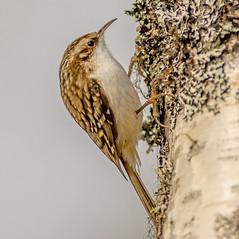 JWL6509  Treecreeper... (jefflack Wildlife&Nature) Tags: nature birds forest countryside woodlands wildlife ngc avian songbirds treecreeper gardenbirds wildbirds treecreepers