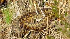 Adder (Vipera berus) (Nick Dobbs) Tags: tongue reptile snake dorset viper adder venomous vipera berus forked