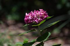 Pink Red Hydrangea (Gabriel FW Koch) Tags: pink red brown sun sunlight black green nature beautiful beauty canon garden eos spring pretty dof blossom bokeh telephoto shade hydrangea blooming lseries