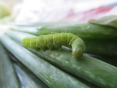 GUANO VERDE_4398 (Annabell-Frias) Tags: chile color macro verde canon meg caterpillar gusano oruga ncg insectoverde macroengeneral gusanoverde macroinsecto macrounlimited chilemacro macroinsectochile