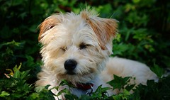 Sleepy Yorkshire Terrier Mix (sonstroem) Tags: dog pet pets cute dogs yorkie puppy happy yorkshire terrier sleepy tired yorkiepoo yorkipoo