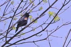 Cranky Red-Winged Blackbird (samurai66) Tags: county forest illinois kane preserve blackbird redwinged duerr